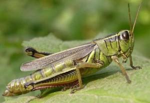 La sauterelle est un des insectes biologiques comestibles cacher
